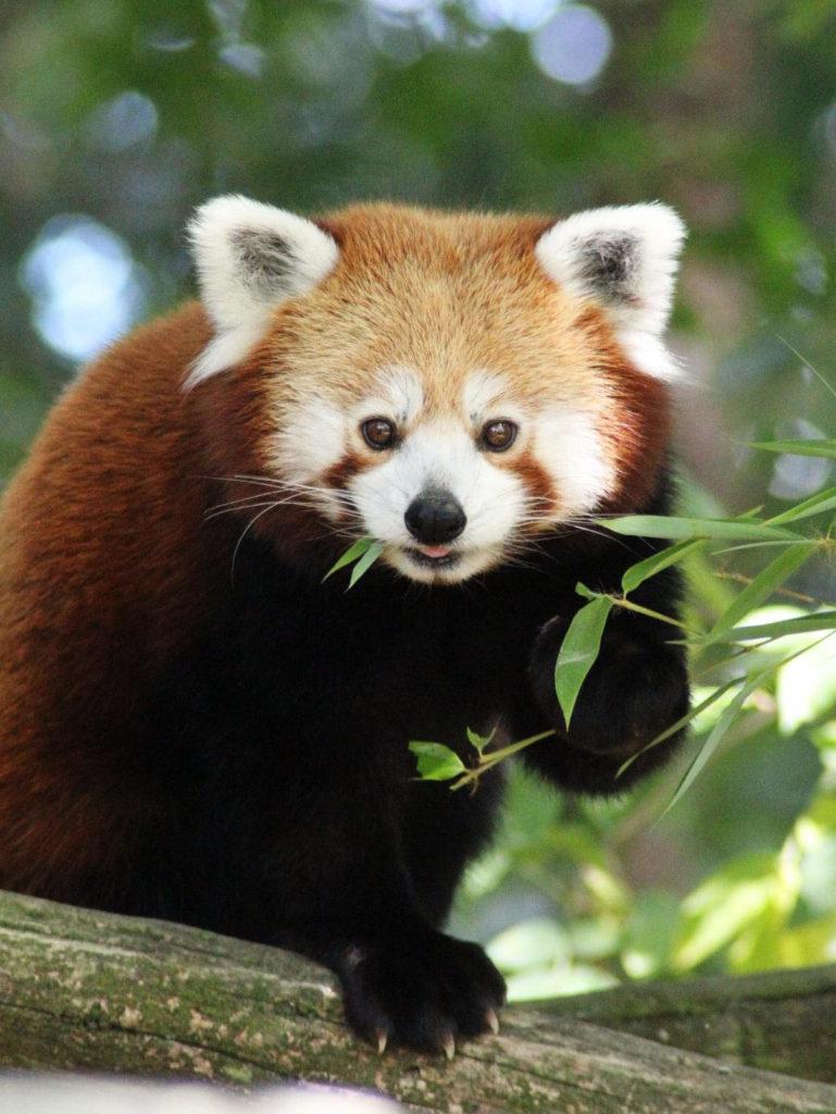 Panda Roux - Légendia Parc
